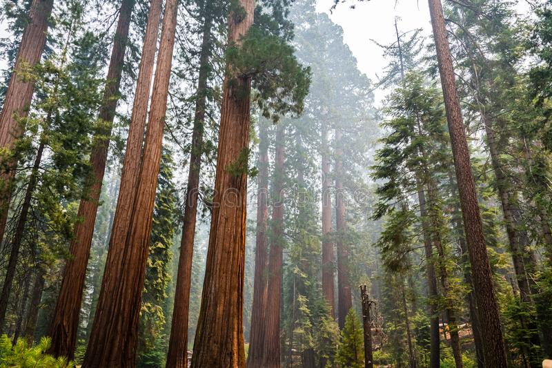 Giant Sequoia trees in Mariposa Grove, Yosemite National Park stock photo