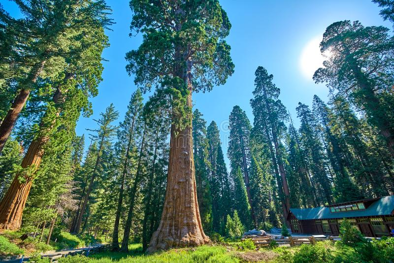 Giant Sequoia Trees In Sequoia National Park California USA in the vicinity of the Museum and Visitors Center stock image