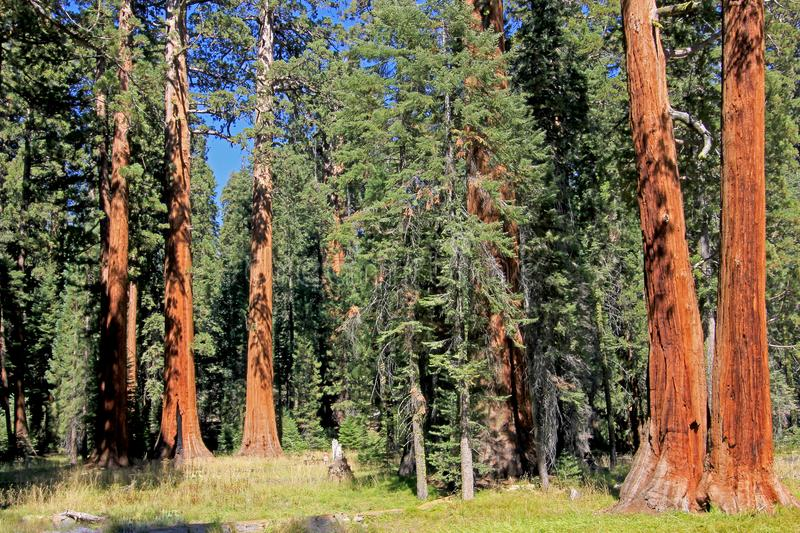 Giant sequoia trees in Sequoia National Park, California royalty free stock photo