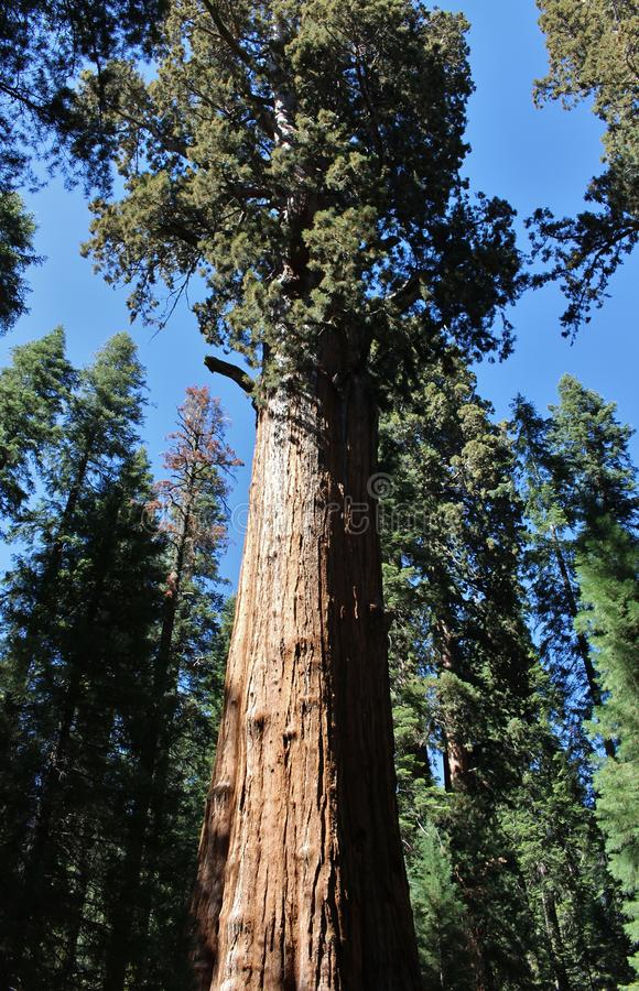 Giant Sequoia Trees in Sequoia National Park, California royalty free stock images