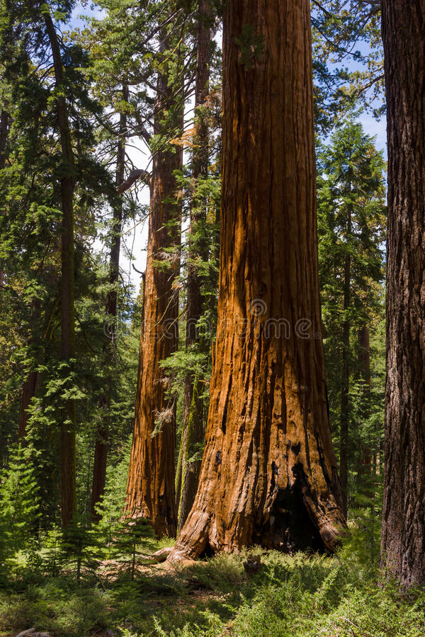 Giant Sequoias royalty free stock photo
