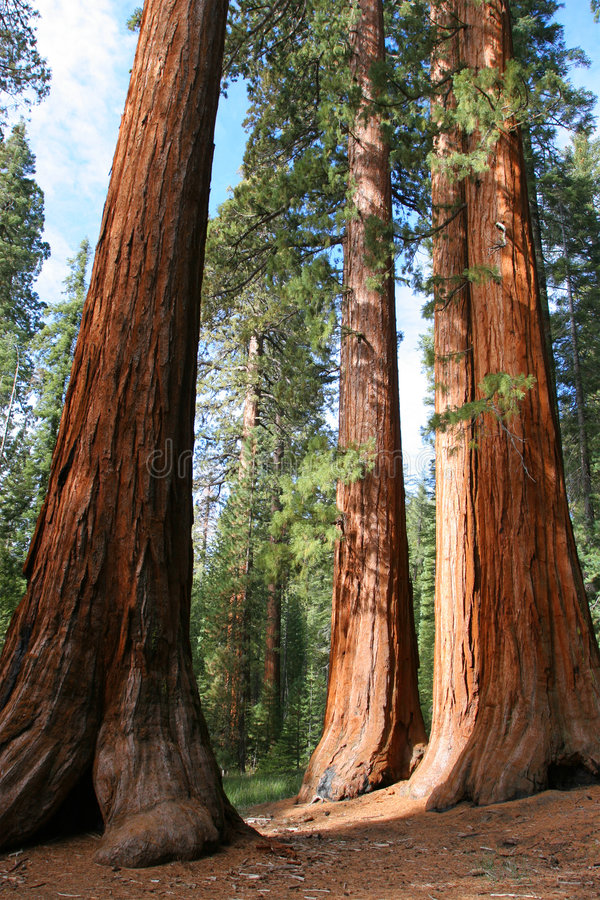 Giant Sequoias, Mariposa Grove. The Bachelor and Three Graces, Mariposa Grove, Yosemite royalty free stock photo