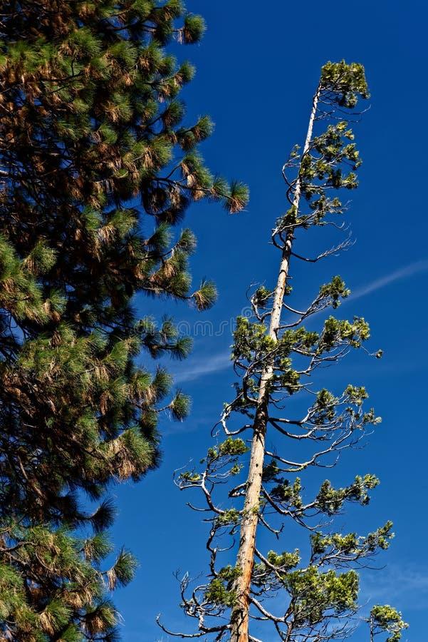 Giant sequoias in Yosemite royalty free stock photo