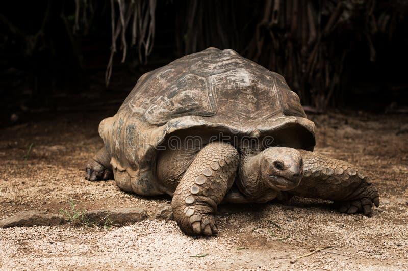 Giant Seychelles tortoise. Mauritius royalty free stock image