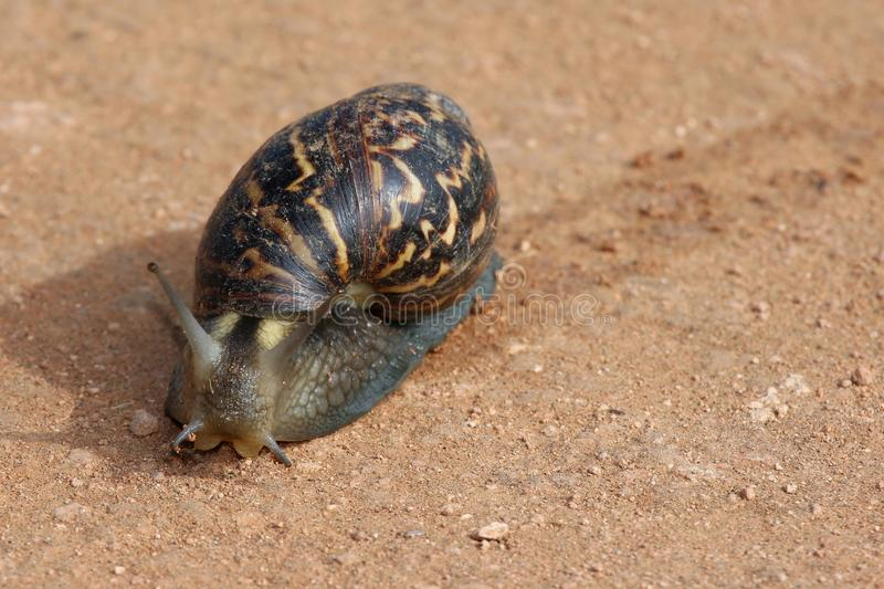 Giant Snail. Huge snail with a beautiful shell and wet trail stock photos