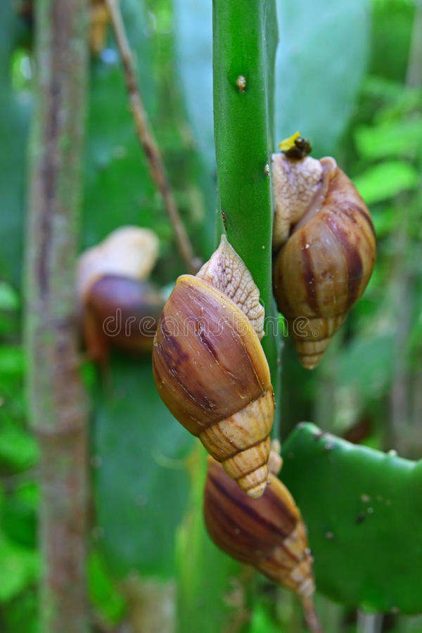 Giant Snails, believed to be Achatina fulica, on Cactus side stem at Rodrigues Island, Mauritius, East Africa. Giant Snails, believed to be Achatina fulica stock photos