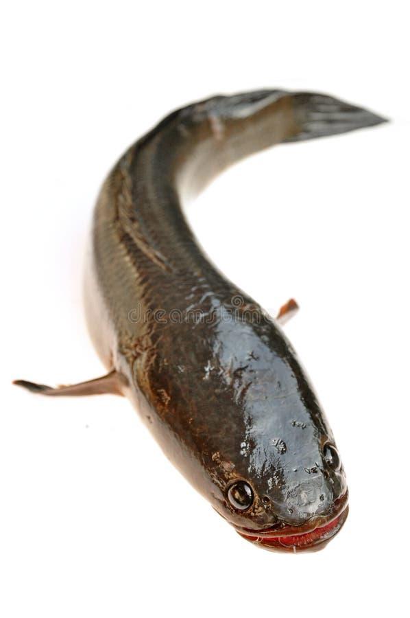 Giant snakehead fish royalty free stock photo