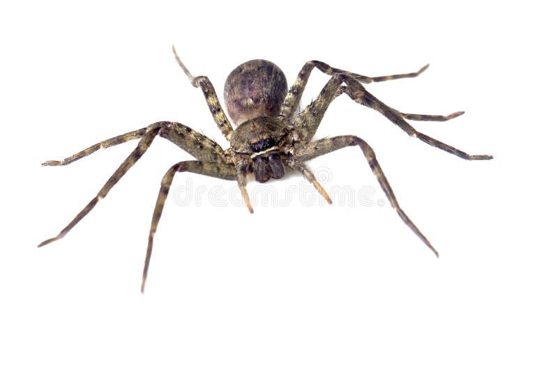 Barn Funnel Weaver Spider Tegenaria Agrestis Stock Images ...