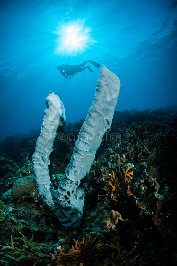 The giant sponge Petrosia lignosa Salvador dali juvenile in Gorontalo, Indonesia underwater. Salvador dali sponge is native to Gorontalo stock image