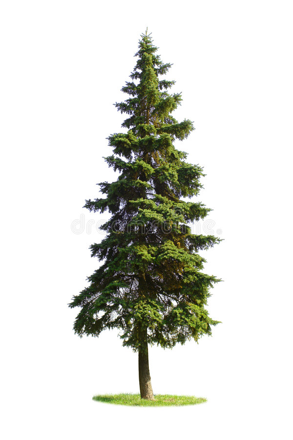 Giant spruce tree stock images