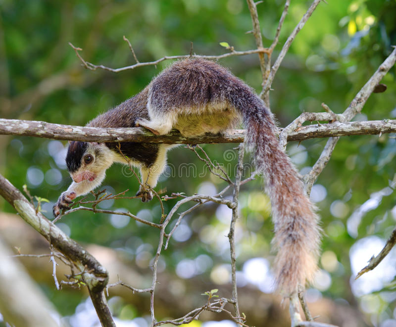 Giant squirrel. Wild big giant squirrel deeds on leaves and buds. Selective focus on the eye royalty free stock images