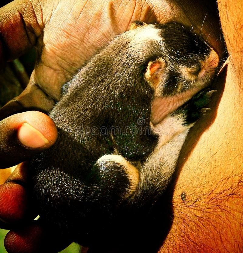 Giant Squirrel. Baby Giant Squirrel in Sri Lanka royalty free stock photo