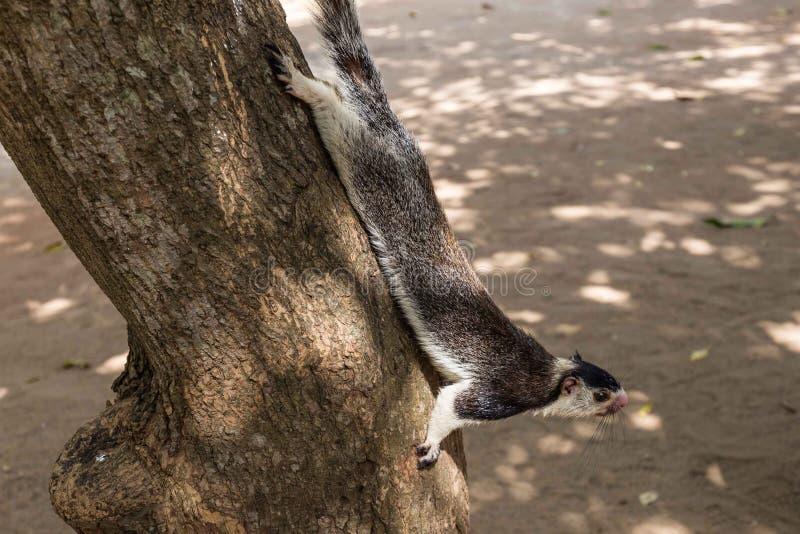 Giant squirrel in Sri Lanka. Giant squirrel climbing down a tree in Sri Lanka royalty free stock photos