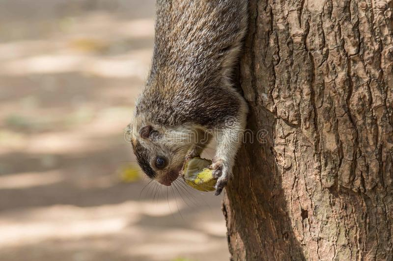 Giant squirrel in Sri Lanka. Giant squirrel climbing down a tree in Sri Lanka stock images