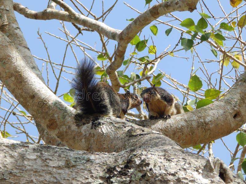 Giant squirrel (Ratufa macroura) sitting on tree, Sri Lanka. Giant squirrel (Ratufa macroura) sitting on tree royalty free stock photo