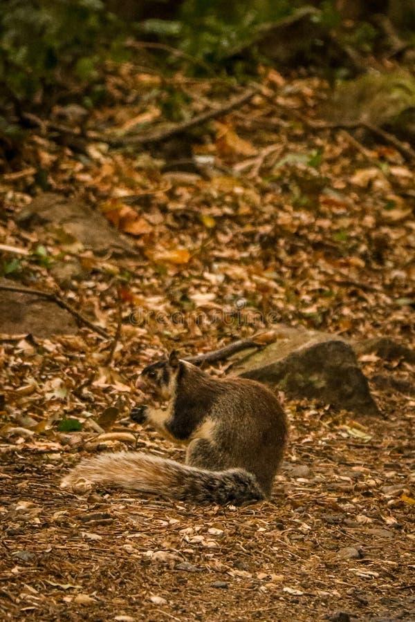 Giant squirrel at sri lanka eating fruit. Giant squirrel sri lanka eating t mammal big tail paws wildlife stock photography