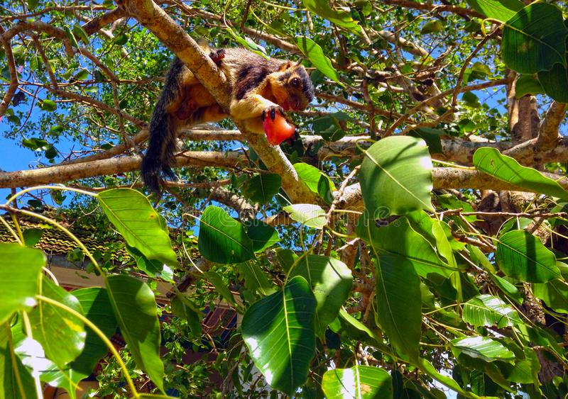 Giant squirrel on the tree. Sri Lanka royalty free stock images