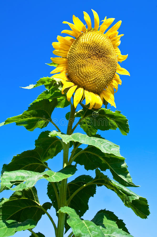 Download Giant sunflower stock image. Image of natural, yellow - 10390953