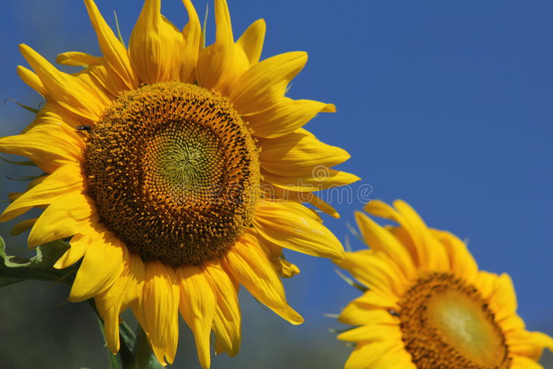 Giant sunflowers stock image