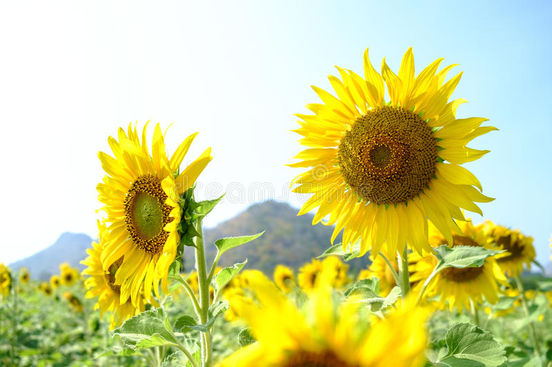 Giant sunflowers. Field of gian sunflowers during summer royalty free stock photography