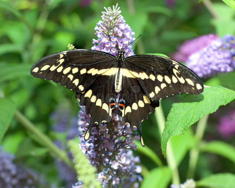 Download Giant Swallowtail stock image. Image of stripe, creature - 11336579