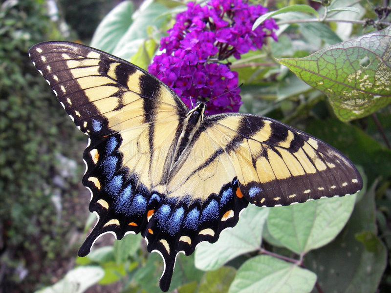 Giant Swallowtail stock images