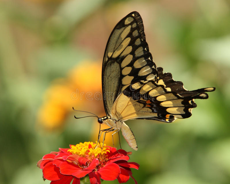 Giant swallowtail butterfly. Details of a Giant Swallowtail butterfly perched on a red flower. Species: Papilio cresphontes royalty free stock photos