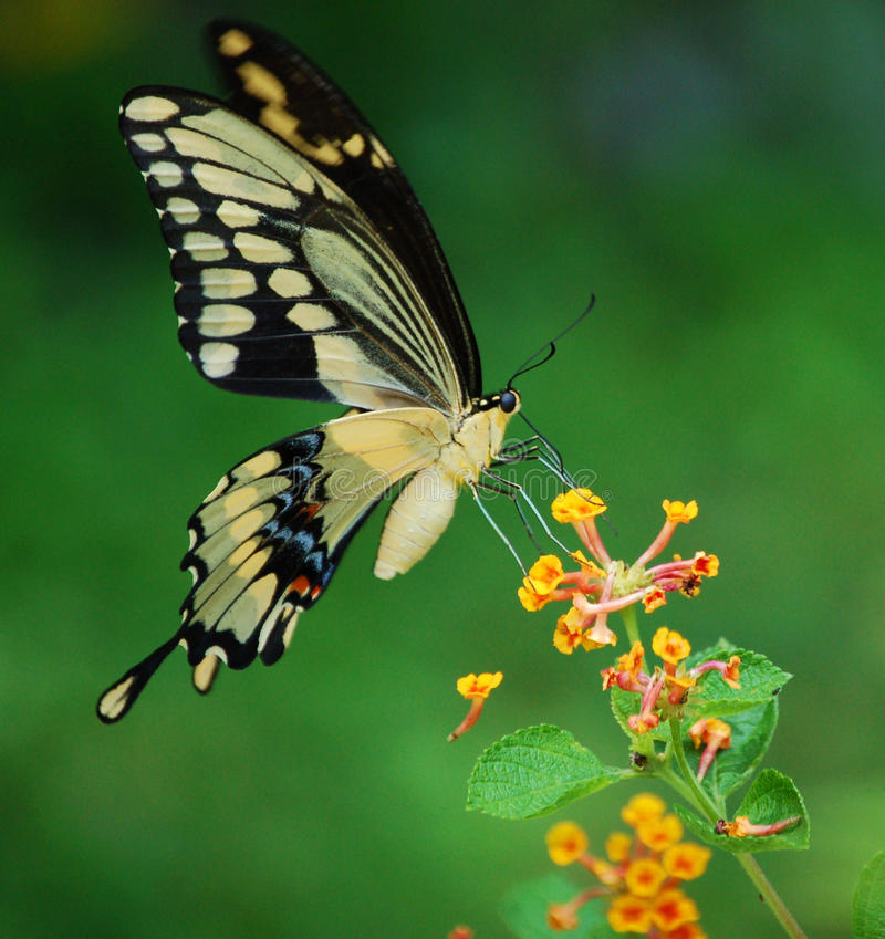 Giant Swallowtail Butterfly stock photography
