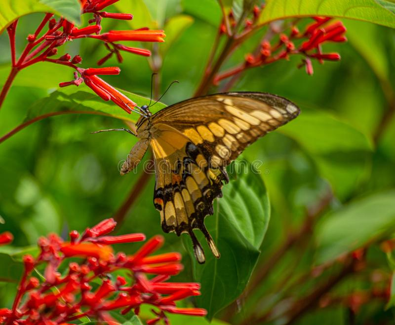 Giant Swallowtail Butterfly at Firebush Flowers, Seminole, Florida. Natural Beauty royalty free stock photos