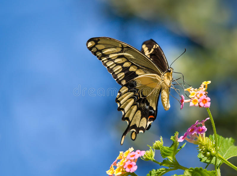 Giant Swallowtail butterfly on Lantana. The Giant Swallowtail (Papilio cresphontes) butterfly feeding on Lantana flowers. Blue sky background with copy space royalty free stock photo