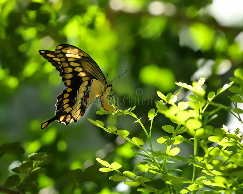 Giant Swallowtail butterfly laying eggs royalty free stock image