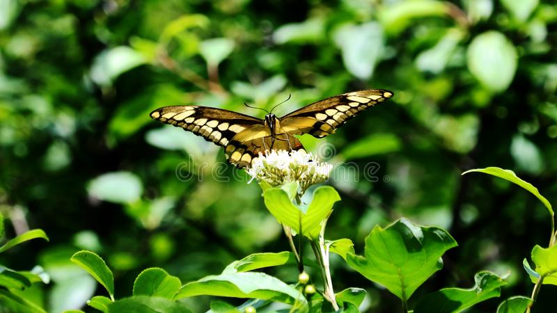 Giant Swallowtail Butterfly wings opened royalty free stock photos