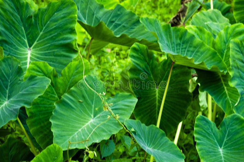 Giant taro leaf texture.forest and environment concept. Giant taro leaf in rain forest.forest and environment concept stock photo