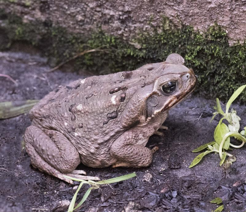 Giant Toad Invades South Florida Yard. Giant Toad, also called Cane, Marine, or Bufo Toad, with brown warty skin is exploring a rain dampened South Florida yard stock photos