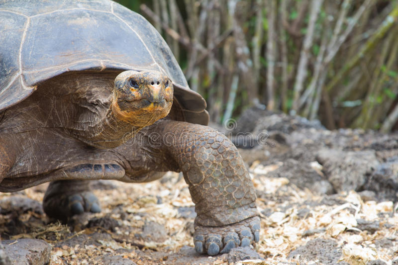 Download Giant Tortoise stock image. Image of nature, turtle, wild - 22108243