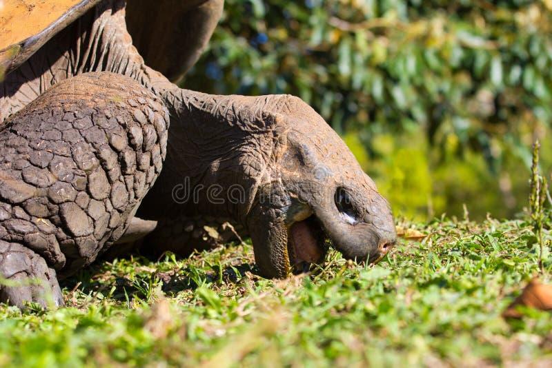Download Giant Tortoise stock photo. Image of ecuador, reptile - 22108312