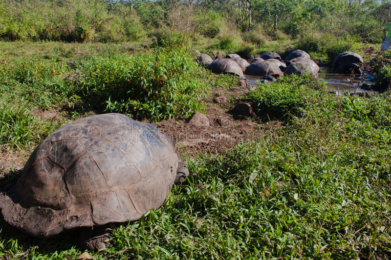 Download Giant Tortoise stock image. Image of nature, reptile - 22108325