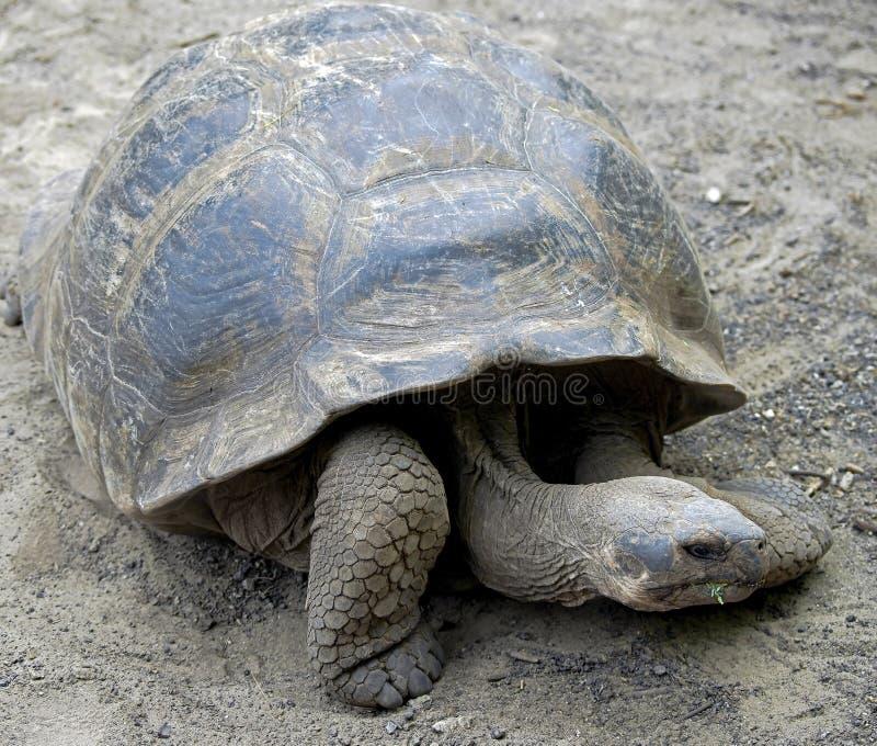 Download Giant tortoise 4 stock image. Image of giant, menaced - 25657301