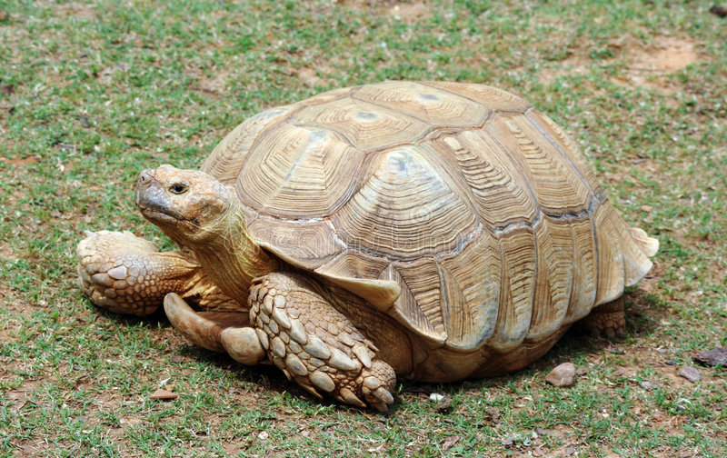 Download Giant Tortoise stock image. Image of animals, walking - 9196723