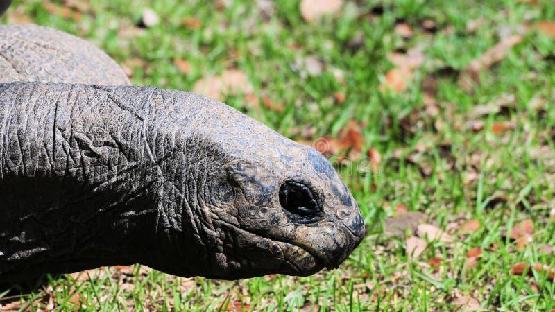 Giant tortoise face royalty free stock image