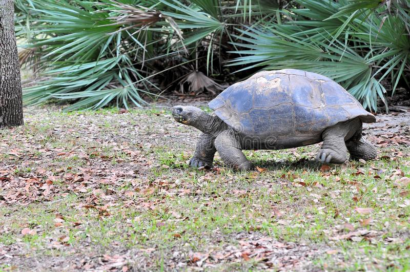 A Giant Tortoise Walking royalty free stock photography