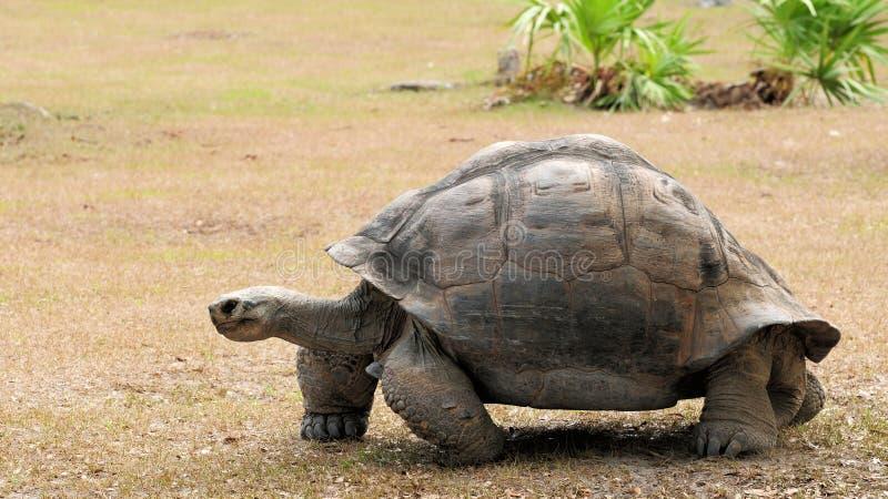 Giant tortoise walking stock image