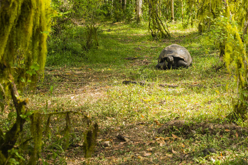 A Giant Tortoise in the woods stock photos