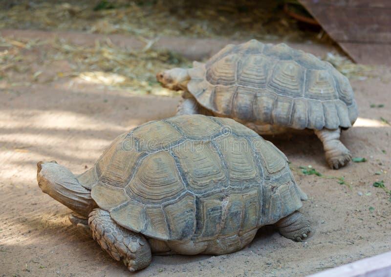Giant tortoises in Oasis Park on Fuerteventura, stock images