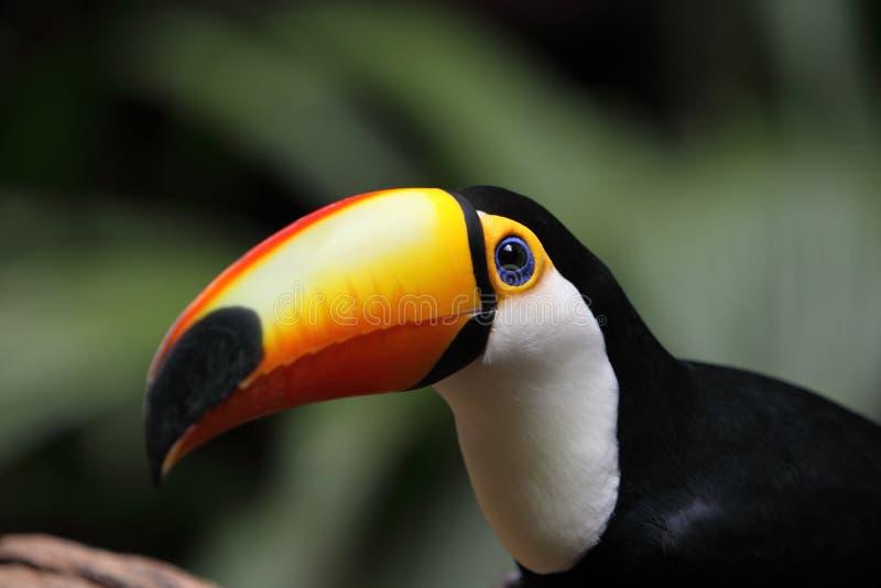 Giant Toucan. In Bird Park in Brazil royalty free stock photos