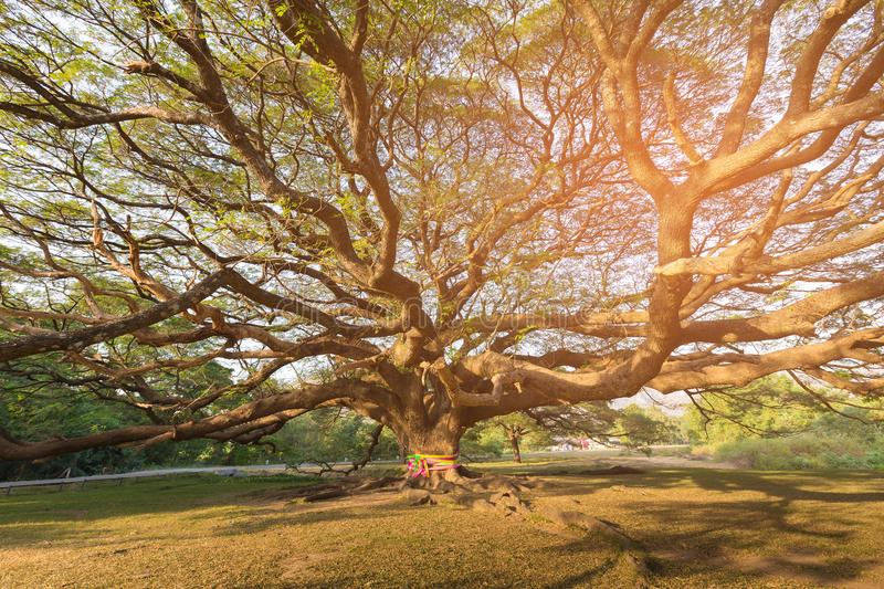 Giant tree in botanic garden tropical jungle Thailand. Natural landscape background royalty free stock images