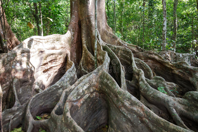 A giant tree with buttress roots in the forest, Costa Rica stock photography