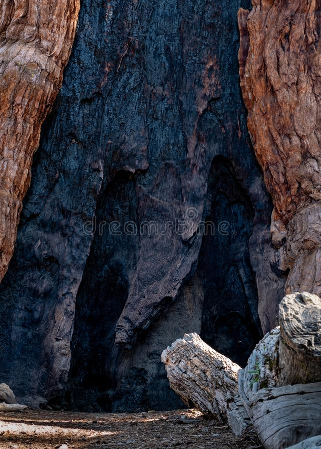 Giant tree charcoal background and texture stock image