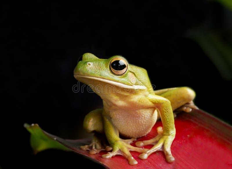 Giant Tree Frog royalty free stock image
