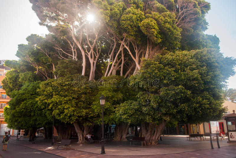 Giant trees in San Sebastian de La Gomera stock image